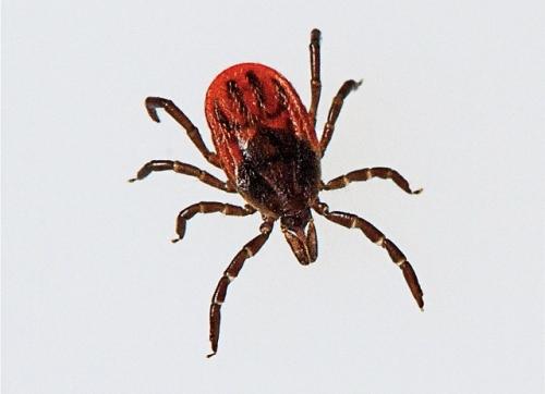 A black-legged tick.